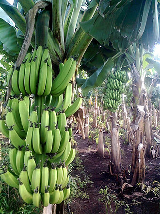Banana - A banana farm in Chinawal, India