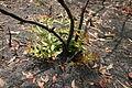 BanksiaoblongifoliaLCNP.JPG
