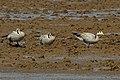Bar Headed Geese (24286700862).jpg