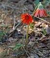 Barberton Daisy (Gerbera jamesonii) (32805728530).jpg