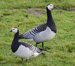 Barnacle gooses (brandganzen) at the IJsselriver foreland. lovely winterscenery - panoramio.jpg