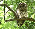 Barred Owl at Willmore Park (you can see those cool inner eyelids) (47101310374).jpg