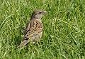 Bayağı Serçe - Passer domesticus - House sparrow 02.JPG