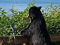 Bear at Tongass National Forest - August 2017 01.jpg