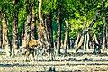 Beauty of Sundarban deer.jpg