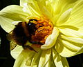 Bee on a flower (7705384576).jpg