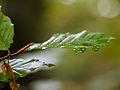 Beech leaf (detail) (10493668573).jpg