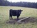 Beef on the hoof at Corgarff - geograph.org.uk - 1052984.jpg