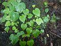 Begonia crenata (4802609838).jpg