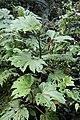 Begonia parviflora (Begoniaceae) (30532145136).jpg