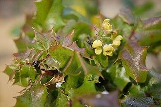 Berberidaceae - Image: Berberidaceae California Barberry