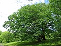 Betula schmidtii tree.jpg