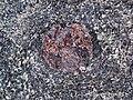 Big garnet amphibolite (Precambrian; Warrensburg, Adirondack Mountains, New York State, USA) 37.jpg