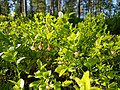 Bilberry flowers.jpg