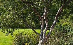 Birch in the Park (3666071751).jpg