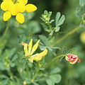 Birds-foot trefoil red-buds yellow-buds.jpg