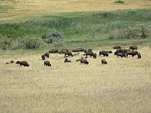 Antelope Island bison herd - Wikipedia