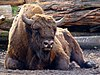 Rare European bison at PA0412