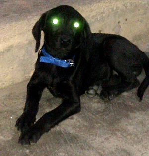 Tapetum lucidum - A three-month-old black Labrador puppy with apparent eye shine