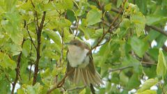 Black-billed Cuckoo - juvenile (7910694946).jpg
