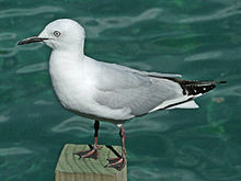 Black-billed Gull RWD.jpg