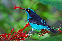 Black-faced Dacnis (Dacnis lineata).jpg