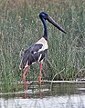 Black-necked Stork (Ephippiorhynchus asiaticus) near Hodal I Picture 2021.jpg