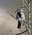 Black-throated Sparrow (33861919306).jpg