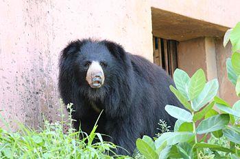 Black Bear 1 at Indira Gandhi Zoological Park, Visakhapatnam.jpg