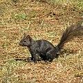 Black Squirrel. Умаг, Хорватия - panoramio.jpg