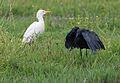 Black heron, Egretta ardesiaca, at Marievale Nature Reserve, Gauteng, South Africa (30128524312).jpg