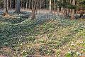 Bledule jarní v PR Králova zahrada 56.jpg