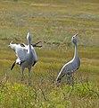 Blue Cranes (Anthropoides paradiseus) calling (32822550325).jpg