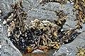 Blue Mussels (Mytilus edulis) - Mobile, Newfoundland 2019-08-12 (02).jpg