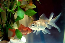 Two goldfish, a silver goldfish in the foreground and an orange goldfish in the background