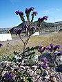 Blue Phacelia - Mojave Wild Flowers 2008 - panoramio.jpg