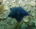 Blue Starfish (4458595833).jpg