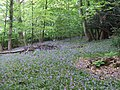 Bluebells - geograph.org.uk - 183351.jpg