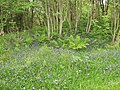 Bluebells and other wild flowers at Camusdarach Lodge - geograph.org.uk - 189321.jpg