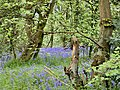 Bluebells in Bunny Hill Wood - geograph.org.uk - 6486.jpg