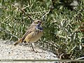 Bluethroat (Luscinia svecica) (31466312338).jpg
