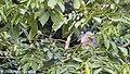 Boat-billed Heron, Cano Negro National Park, Costa Rica, January 2018 (39635056395).jpg