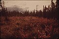 Bog Cranberries (High Bush Variety) Turn Bright Red in Autumn in This Clearing near the Prospect Creek Camp. Trees Are Black Spruce Typical of the Inferior Alaskan Taiga 08-1973 (3972045448).jpg