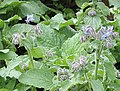Borage or starflower crop - geograph.org.uk - 478645.jpg
