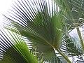 Borassus aethiopum 0022.jpg