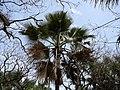 Borassus aethiopum 0023.jpg