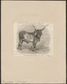 Bos indicus - 1864 - Print - Iconographia Zoologica - Special Collections University of Amsterdam - UBA01 IZ21200137.tif