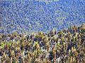 Bosque de pinos.jpg