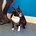 Boston Terrier (23991976896).jpg