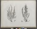 Botanique. 1. Fucus antennulatus; 2. Fucus denticulatus (NYPL b14212718-1268687).tiff